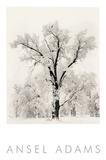 Ansel Adams - Oak Tree - Poster