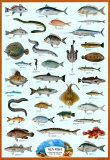 Sea Fish Poster, International Edition