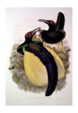 Gould Bird of Paradise IV Posters by John Gould