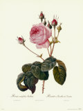 Centifolia Bullata Prints by Pierre-Joseph Redout&#233;