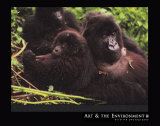 Mountain Gorilla Poster by Gerry Ellis