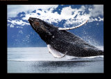 Northern Humpback Whale Poster by Brandon Cole