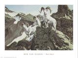 Dall Sheep Kunstdrucke von Ron Van Gilder