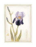 Purple Iris with Beard I Poster by Meg Page