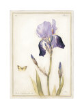 Purple Iris with Beard II Prints by Meg Page