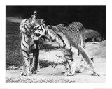 Tigerliebe Kunstdruck von H. Armstrong Roberts