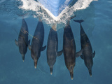 A Pod of Atlantic Spotted Dolphins, Stenella Frontalis, Bow Riding Photographic Print by Jim Abernethy
