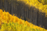 Aspen Trees in Glowing Yellow Autumn Hues Photographic Print by Robbie George