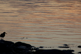 A Black Oystercatcher in Silhouette Stands on the Bank of Icy Bay Photographic Print by Matthias Breiter