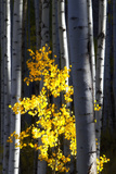 Sunlight on a Small Golden Aspen Tree Among Larger Tree Trunks Reproduction photographique par Robbie George
