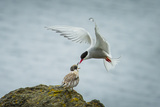 An Arctic Tern Feeds a Chick While in Flight Photographic Print by Ralph Lee Hopkins