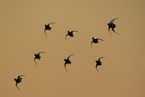 Redhead Ducks, Aythya Americana, in Flight, Silhouetted at Sunrise Photographic Print by Robbie George