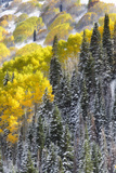 A Snowy Mountainside with Golden Aspen Trees and Evergreens Photographic Print by Robbie George