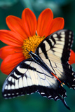 Close Up of a Swallowtail Butterfly on a Red Zinnia Flower Photographic Print by Vickie Lewis