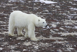 A Young Male Polar Bear Walks on Snow Spotted Arctic Tundra Photographic Print by Matthias Breiter