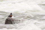 A Harlequin Duck on a Rock in the LeHardy Rapids Photographic Print by Tom Murphy