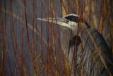 Portrait of a Blue Heron at a Pond Fotografisk tryk af Raul Touzon