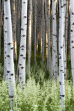 Lush Plants in Bloom at the Base of Aspen Tree Trunks Photographic Print by Robbie George