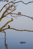 Rhesus Monkeys, Macaca Mulatta, in a Tree on a Bank of the Yamuna River Stampa fotografica di Jonathan Kingston