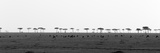 The Plain of Masai Mara Spotted by Silhouetted Acacia Trees and Grazing Animals Photographic Print by Sergio Pitamitz