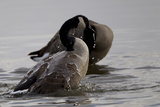 Water Running Off the Back of a Canada Goose After Bathing Photographie par Robbie George