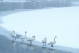 Five Trumpeter Swans Along the Yellowstone RIver in a Winter Snowstorm Photographic Print by Tom Murphy