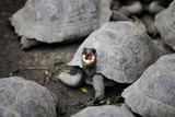 A Tortoise Showing Its Personality Photographic Print by Jill Schneider