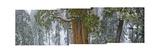 Michael Nichols - A Team of Scientists Measure a Giant Sequoia - Fotografik Baskı