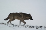 A Black Wolf, Canis Lupus, Walking Across the Snow Fotografisk tryk af Barrett Hedges