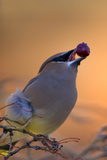 A Cedar Waxwing, Bombycilla Cedrorum, Eating a Berry Photographic Print by Robbie George
