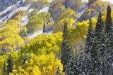 Light Snowfall in a Forest of Autumn-hued Aspen and Evergreen Trees Photographic Print by Robbie George