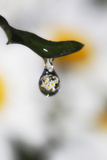 A Cluster of Daisies Reflected in a Drop of Water Photographic Print by Robbie George