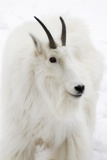 Close Up Portrait of a Mountain Goat, Oreamnos Americanus Photographic Print by Robbie George