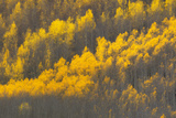 Aspen Trees with Blazing Yellow Leaves in Autumn Photographic Print by Robbie George