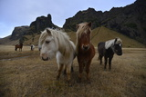 Icelandic Horses in a Pasture Photographic Print by Raul Touzon