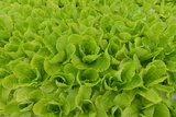 Lettuce Grown Hydroponically Photographic Print by Raul Touzon