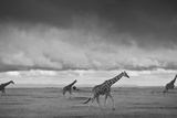 Giraffes Move Across the Plains of Laikipia, Kenya Fotografisk tryk af Robin Moore