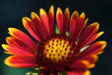 Close Up of a Mexican Sunflower Photographic Print by Vickie Lewis