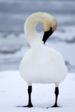 Portrait of a Trumpeter Swan, Cygnus Buccinator, Preening in the Snow Photographic Print by Robbie George