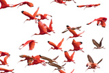 The Adult Male and Female Scarlet Ibis, Eudocimus Ruber, Are Bright Red Photographic Print by Carrie Vonderhaar