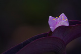Its Purple Flower Emerges From a Wandering Jew Plant Photographic Print by Vickie Lewis