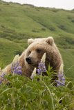 Wild Lupine Flowers Frame a Portrait of a Brown Bear Photographic Print by Matthias Breiter