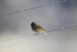 An Dark-eyed Junco, Junco Hyemalis, Sitting on An Icy Power Line Photographic Print by Robbie George