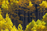 Sunlight on Blazing Yellow Aspen Trees Photographic Print by Robbie George