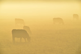 A Backlit View of Grazing Cattle Photographic Print by Raul Touzon