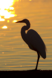 A Silhouetted Great Egret, Ardea Alba, Perched by the Water at Sunset Photographic Print by Robbie George