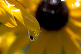 A Black-eyed Susan Flower Reflected in a Drop of Water Photographic Print by Robbie George