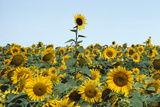A Field of Sunflowers, Helianthus Petiolaris, in Bloom Photographic Print by Richard Olsenius