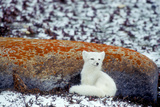 An Arctic Fox Sitting Against a Lichen Covered Rock Near Hudson Bay Photographic Print by Tom Murphy