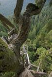 The Giant Sequoia Named Odin Fotografisk tryk af David Liittschwager